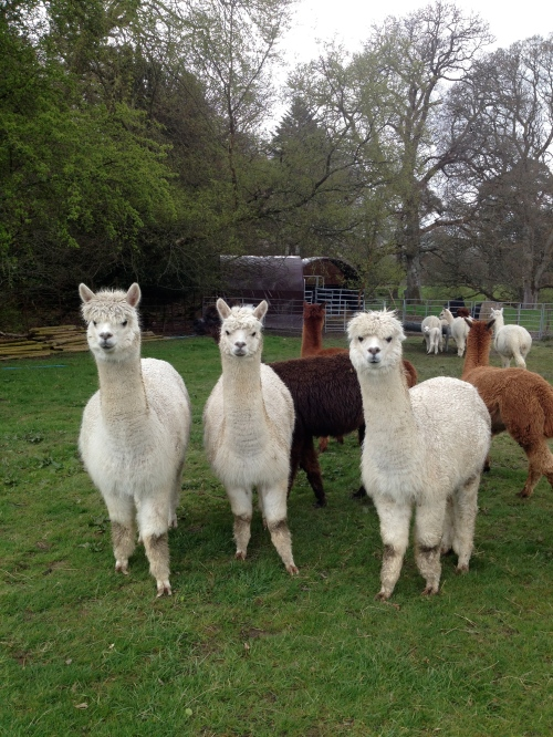 "The ""Alpacaly ever after"" alpacas"