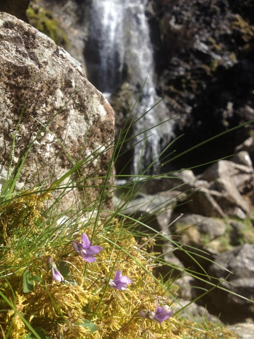 Newlands Valley  waterfall with Violets