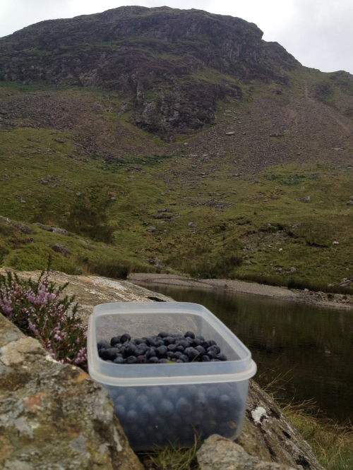 Bilberry picking